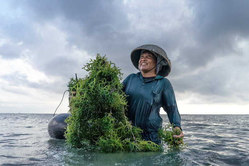 A female seaweed farmer stands in the shallows holding a mass of seaweed in Indonesia