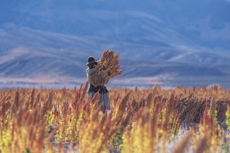 A Bolivian woman in traditional dress carrying a bushel of quinoa in a field