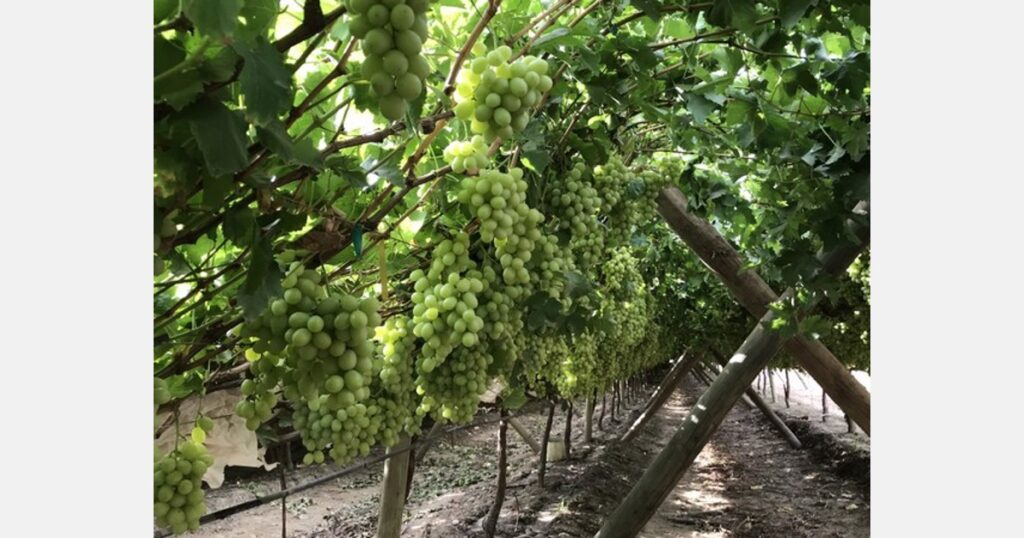 """""""We are showcasing organic fertilization, and pest/disease control program for organic table grapes"""""""